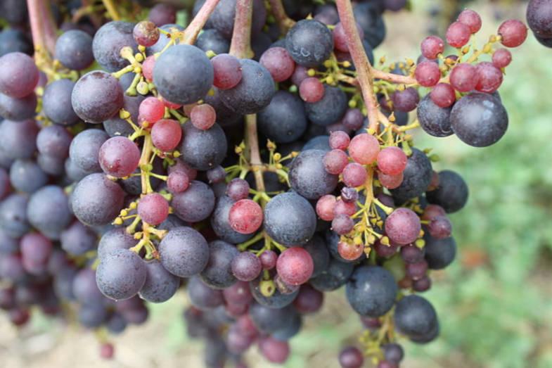 vitigno di Rossese, Dolceacqua
