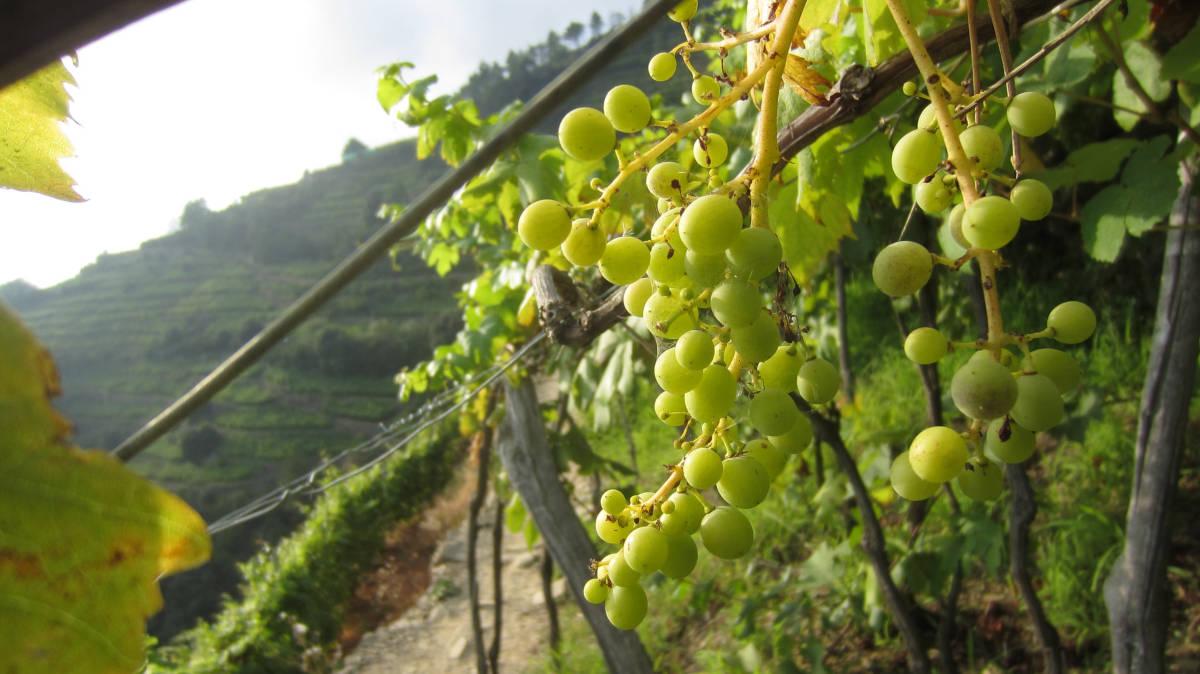 Vini liguri pregiati: quali sono e come abbinarli